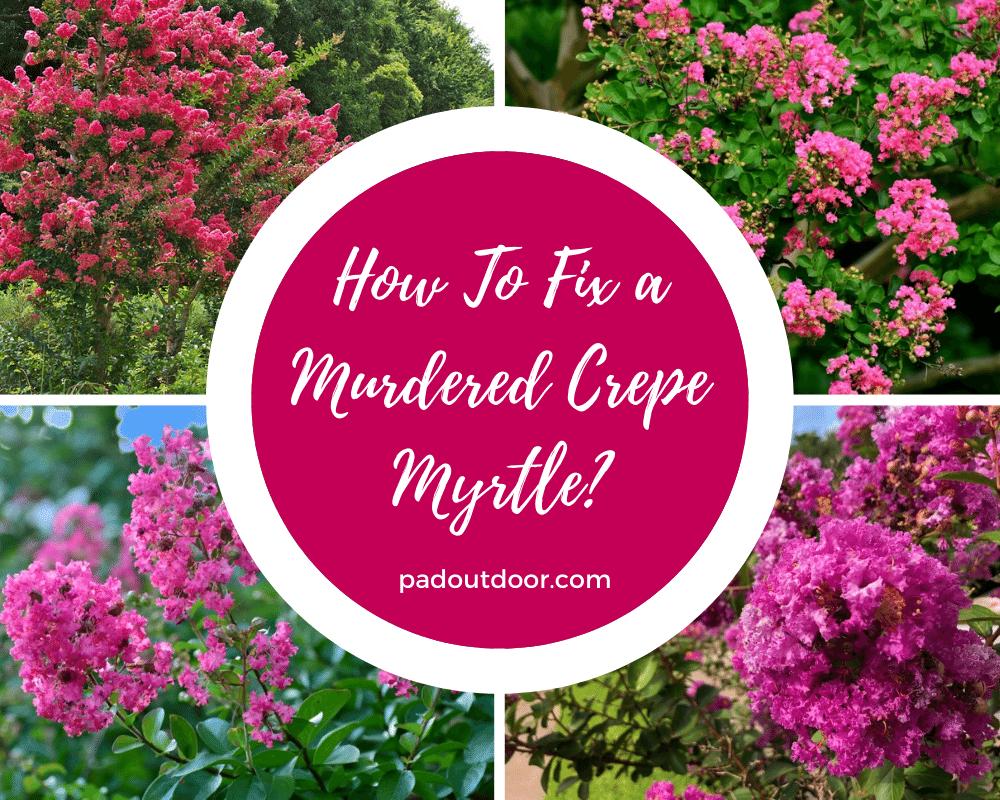 How To Fix a Murdered Crepe Myrtle? | Pad Outdoor