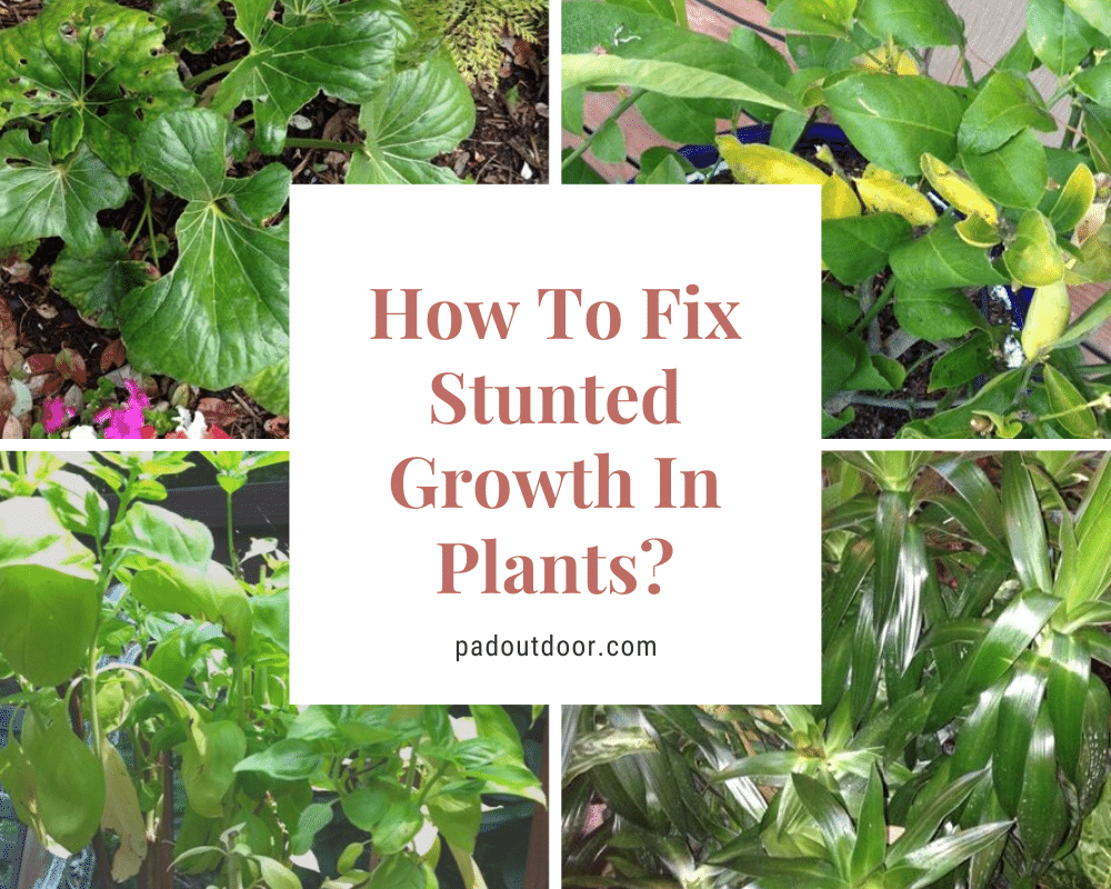 How To Fix Stunted Growth In Plants? | Pad Outdoor