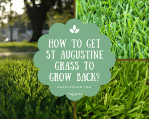 How To Get St Augustine Grass To Grow Back?