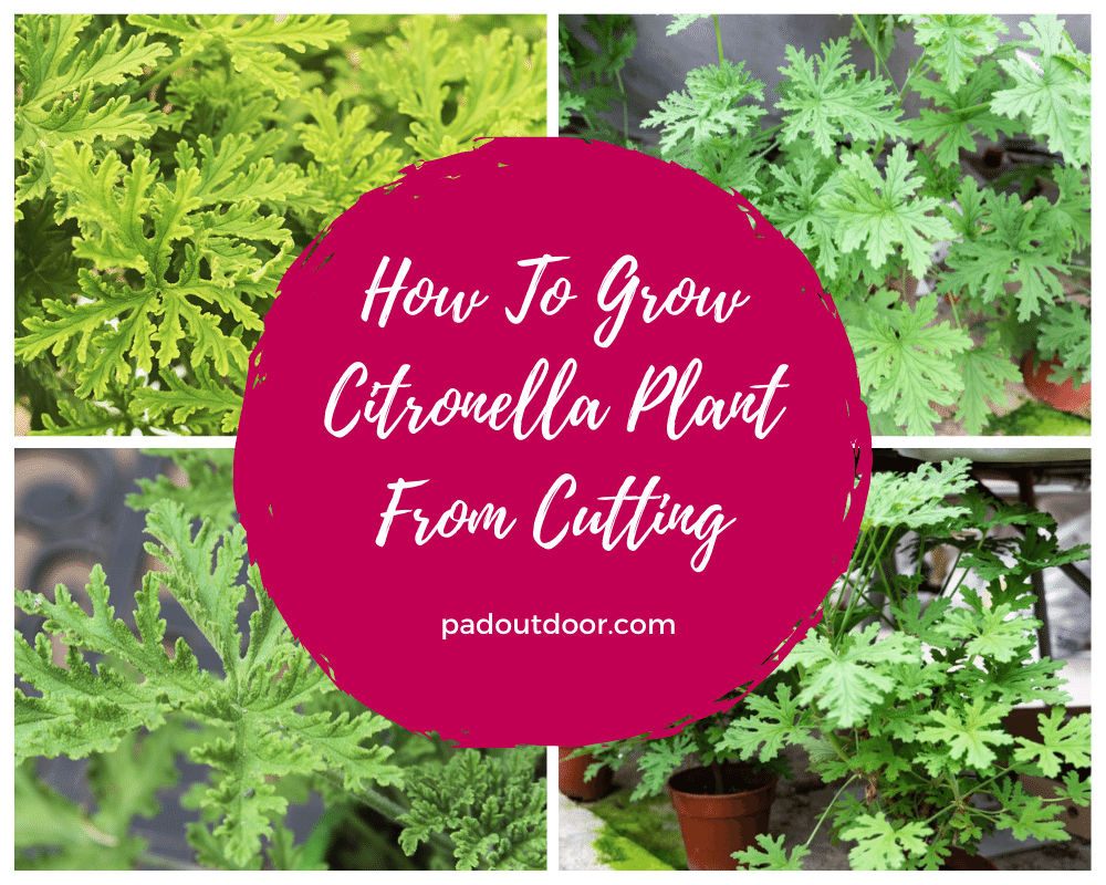 How To Grow Citronella Plant From Cutting | Pad Outdoor