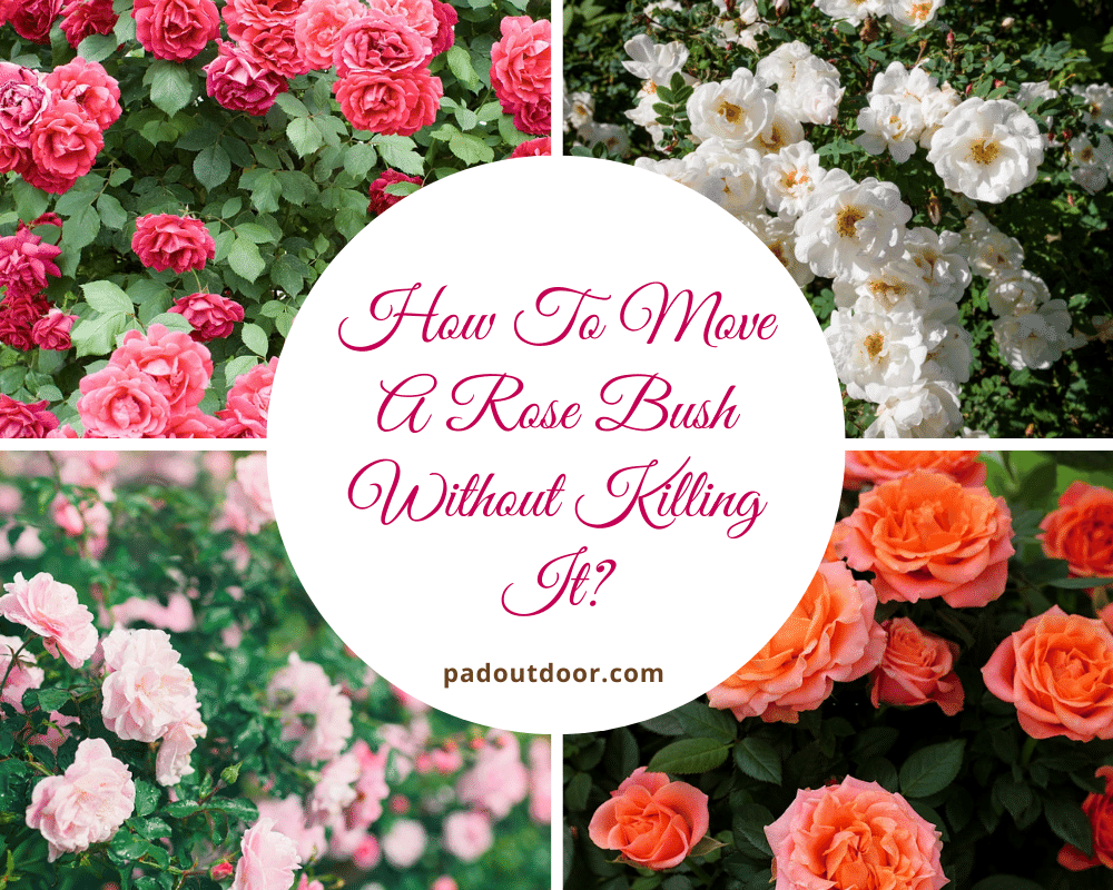 How To Move A Rose Bush Without Killing It? | Pad Outdoor