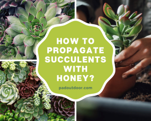 How To Propagate Succulents With Honey?