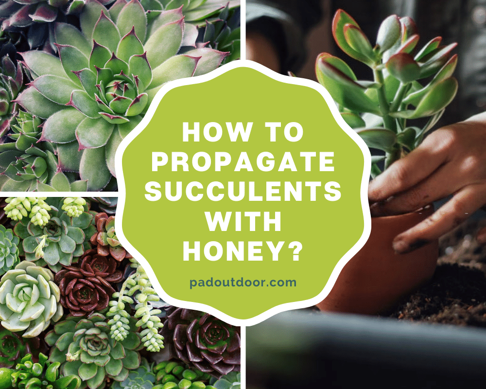 How To Propagate Succulents With Honey | Pad Outdoor