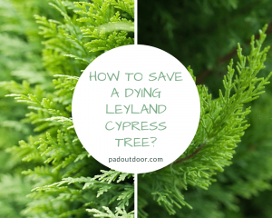 How To Save A Dying Leyland Cypress Tree?