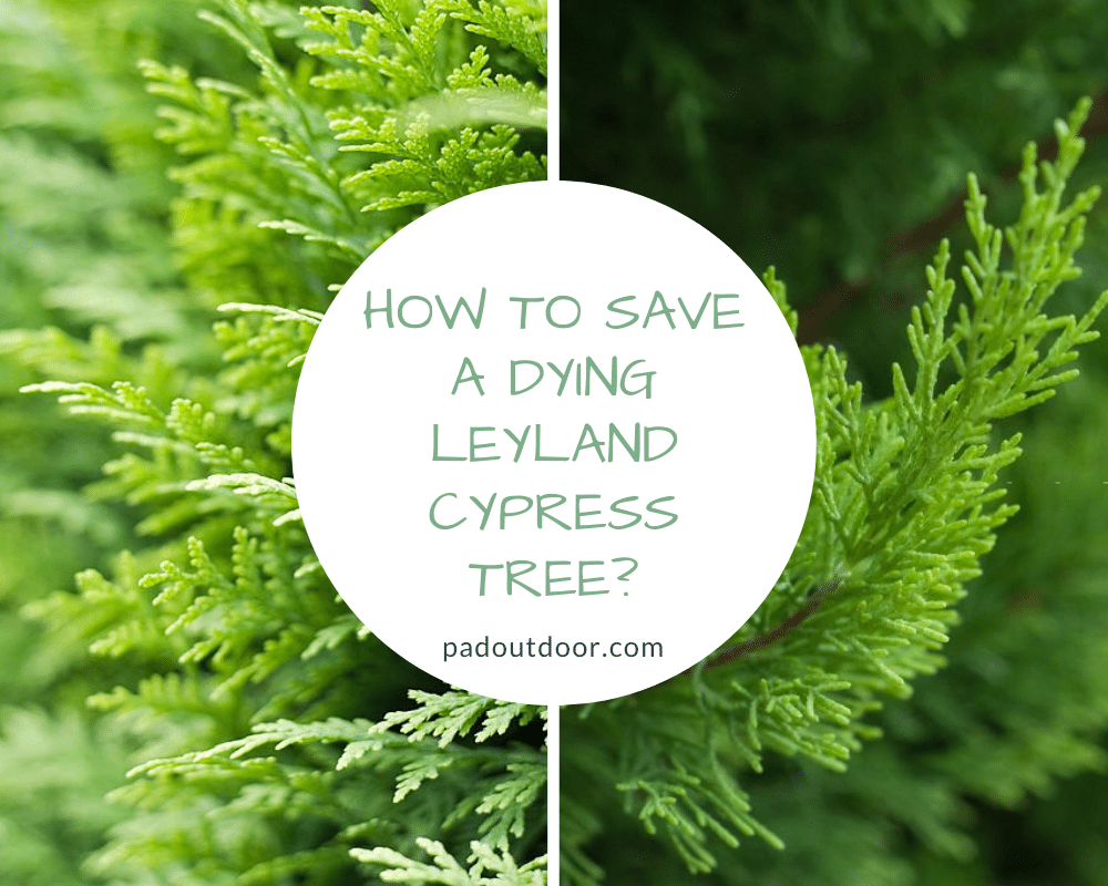 How To Save A Dying Leyland Cypress Tree | Pad Outdoor