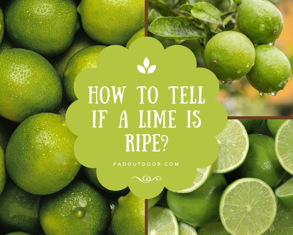 How To Tell If A Lime Is Ripe | Pad Outdoor