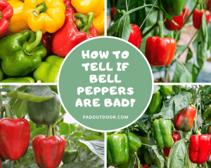 How To Tell If Bell Peppers Are Bad?