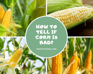 How To Tell If Corn Is Bad?