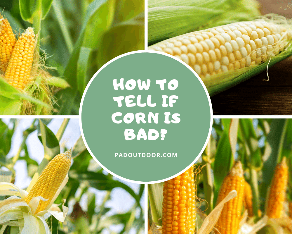 How To Tell If Corn Is Bad | Pad Outdoor