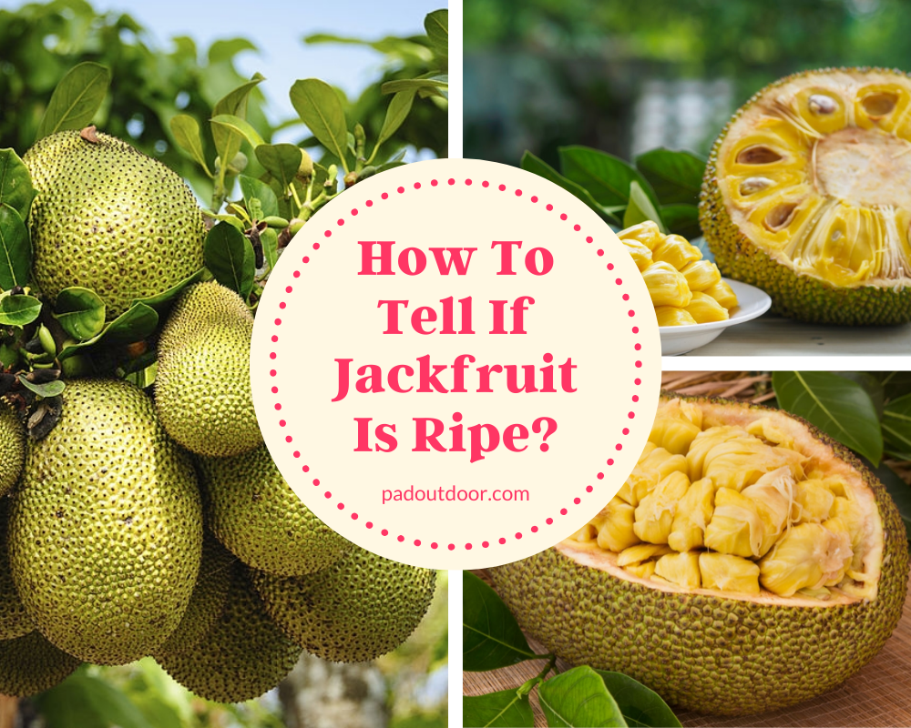 How To Tell If Jackfruit Is Ripe| Pad Outdoor