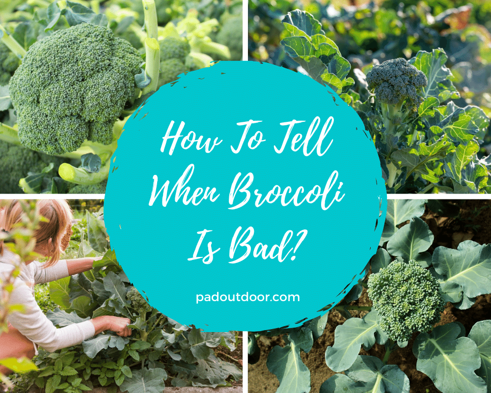 How To Tell When Broccoli Is Bad? | Pad Outdoor