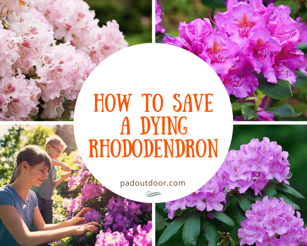 How To Save A Dying Rhododendron