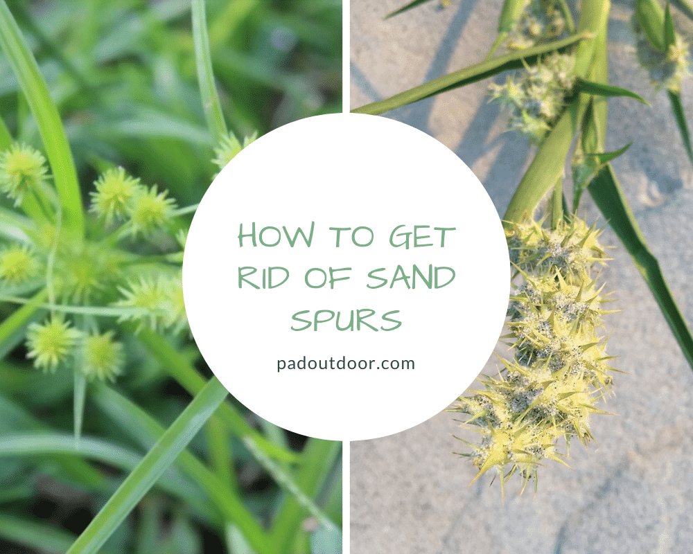 How To Get Rid Of Sand Spurs