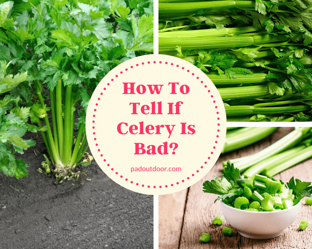 How To Tell If Celery Is Bad?